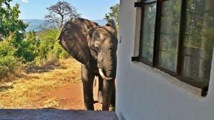 Wounded elephant limps to lodge for help